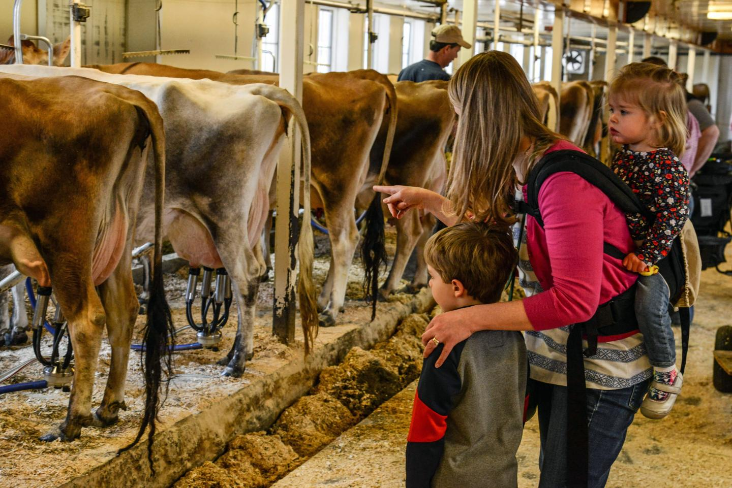 Billings Farm visitors milking